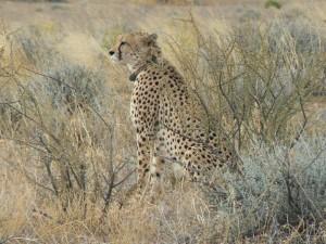 Alan the Cheetah